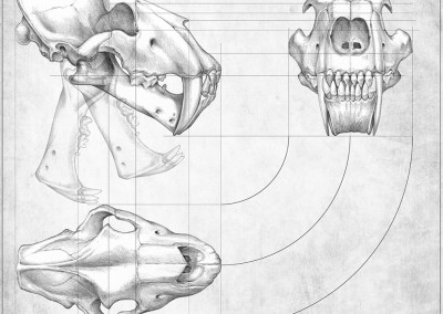 HOMOTHERIUM SKULL VIEWS - Pencil - 2012 - Scientific supervisor: Lorenzo Rook